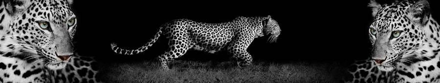 Скинали — Леопард на черном фоне