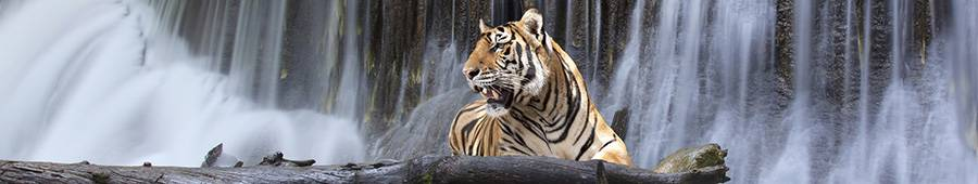 Скинали — Тигр на фоне водопада