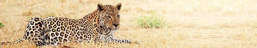 Скинали — Леопард в Саванне