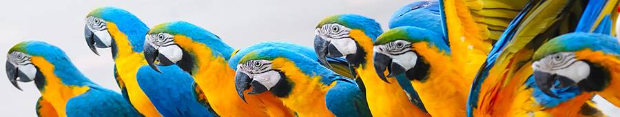 Скинали — Попугаи