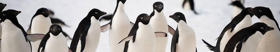 Скинали — Пингвины