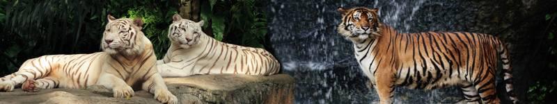 Скинали — Тигры