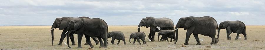 Скинали — Стадо слонов
