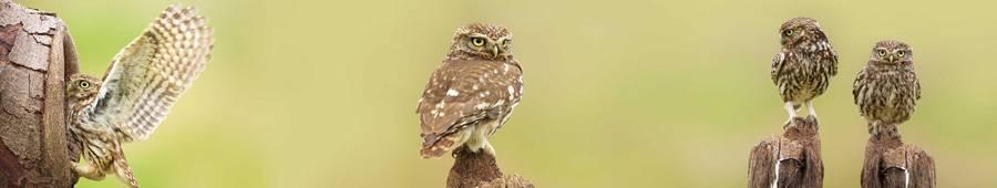 Скинали — Маленькие совы